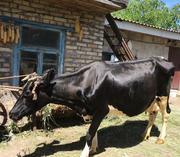 Продаю корову молочной породы